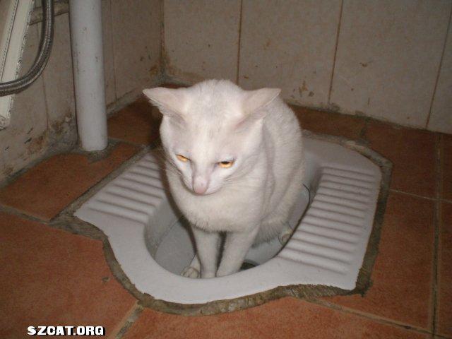 本人的小白猫可以自已上洗衣手间拉大小便