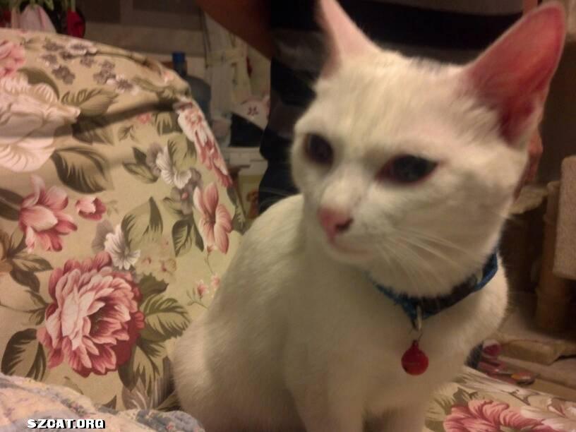 在福华新村捡到一只白猫