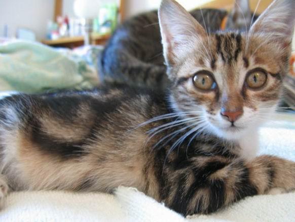 小猫是我家楼下车库的母猫生的,母猫把她带大后就走猫了,留下她一个。小猫从小就没离开过地下车库,估计也不知道怎么出去,车库没水没食物。经过我和我妈的长时间诱捕,终于在前几天把她抓到,并把她从骨瘦如柴养成精灵可爱人见人爱的FB猫。取名为酷儿(取自同音字库) 猫咪基本情况:女孩,3个月大,喜欢跟人睡觉和欺负大猫,好动顽皮,会在人厕所小水道口旁边NNBB。 现在正式在这里为酷儿找BBMM,领养条件如深圳猫提倡的理念一样:科学养猫,不离不弃,把猫咪当作家中一成员看待,尊重他爱护他。 联系电话:13928469