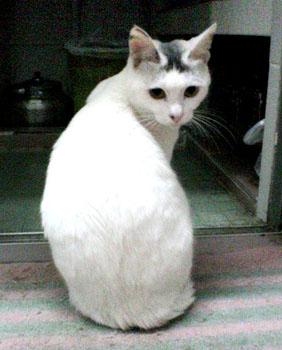温柔可爱的白猫寻新家(图1)[图集]