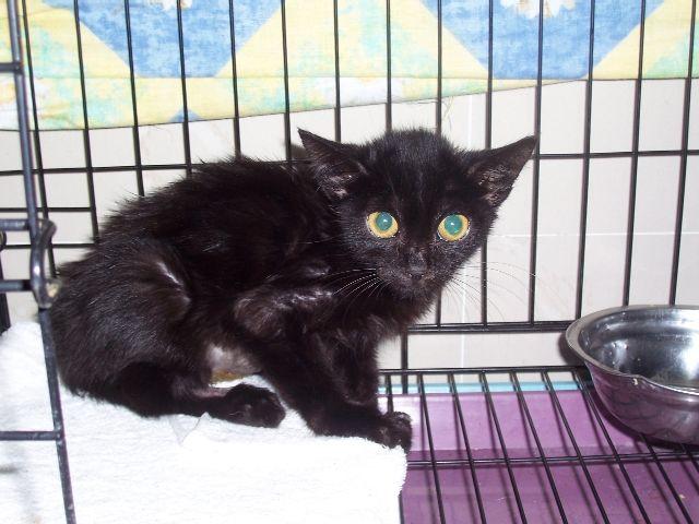 请关注:小黑猫待领养(已领养)