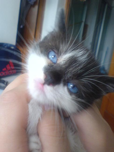 健康漂亮的蓝眼睛黑猫警长等你带回家