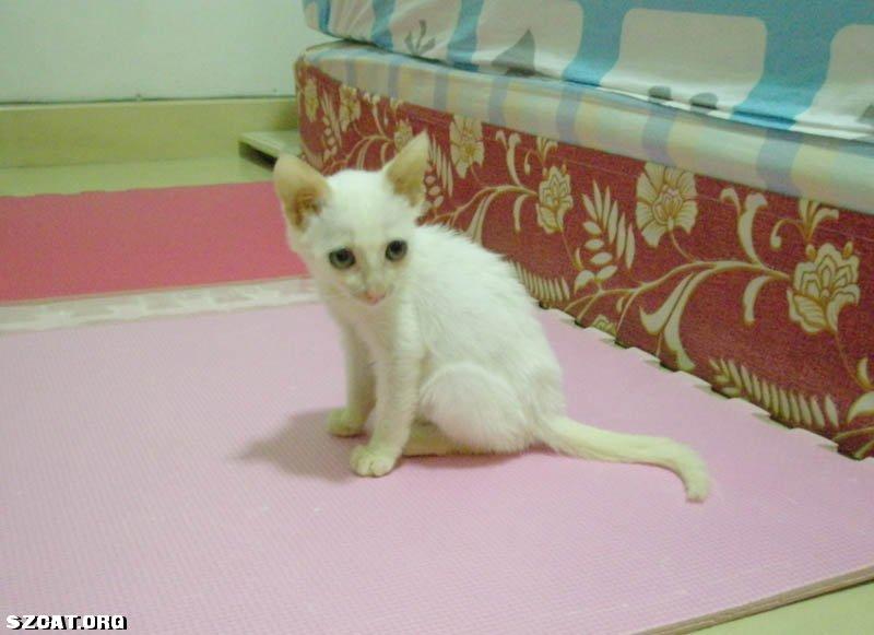 可爱小白猫,等待领养(附照片)