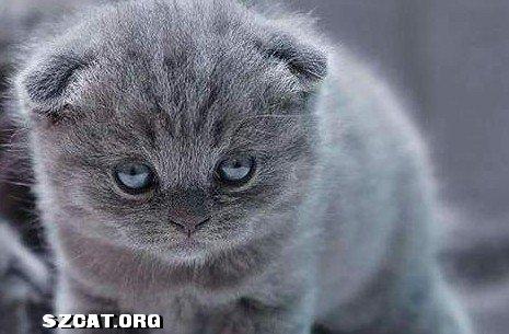 美国卷耳猫好奇心很强